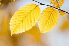 Two yellowl autumn leaves. Two yellow autumn leaves on sunlight Royalty Free Stock Photography