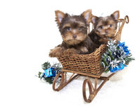 Two Yorkie Christmas Puppies. Stock Photography