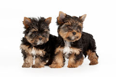 Two Yorkie puppies. On white background Stock Image