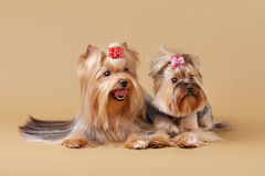 Two yorkie puppies Stock Photography