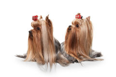 Two yorkie puppies on white gradient background Stock Photos