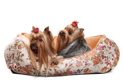 Two yorkie puppies on white gradient background Stock Photo
