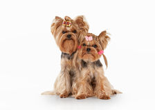 Two yorkie puppies on white gradient background Royalty Free Stock Image