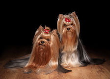 Two yorkie puppies on wooden texture Stock Photos