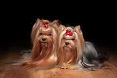 Two yorkie puppies on wooden texture Stock Photography
