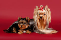 Two yorkies. On dark red background Royalty Free Stock Image