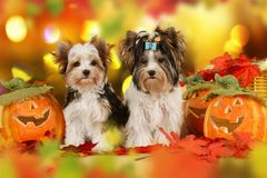 Two yorkshie Terrier dogs in autumn leaves Royalty Free Stock Photography