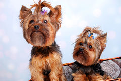 Two Yorkshire dogs in wicker basket Stock Photos