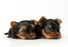 Two yorkshire puppies on white background. One month old Royalty Free Stock Image