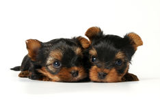 Two yorkshire puppies on white background. One month old Stock Photo