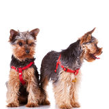 Two yorkshire puppy dogs looking at their side Stock Image