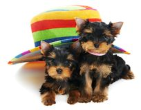 Two Yorkshire Terrier 3 month Stock Images