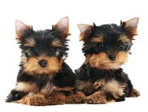 Two Yorkshire Terrier 3 month Stock Photo