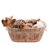 Two yorkshire terrier in basket on white background Royalty Free Stock Photo