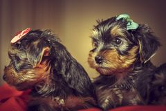 Two Yorkshire terrier dog puppies Royalty Free Stock Images