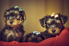 Two Yorkshire terrier dog puppies Stock Photography