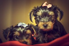 Two Yorkshire terrier dog puppies Royalty Free Stock Photo