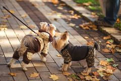 Two Yorkshire Terrier dogs walk in the park royalty free stock photo