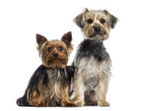 Two Yorkshire Terrier Royalty Free Stock Photos