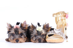 Two yorkshire terrier puppies Royalty Free Stock Image