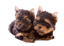 Two Yorkshire terrier puppies Stock Image