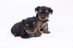 Two Yorkshire Terrier puppies Stock Photo