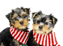 Two Yorkshire terrier puppies Royalty Free Stock Photography