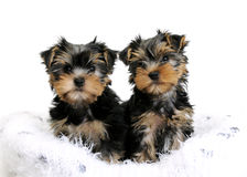 Two Yorkshire terrier puppies stock photos