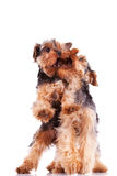 Two yorkshire terrier puppy dogs playing. And biting each other on white background Stock Image