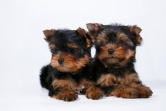 Two Yorkshire terrier puppy on a white background. Two Yorkshire terrier puppy with a beautiful silk coat on a white background Stock Photography