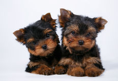 Two Yorkshire terrier puppy on a white background. Two Yorkshire terrier puppy with a beautiful silk coat on a white background Royalty Free Stock Photo