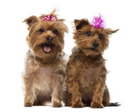 Two Yorkshire Terrier wearing bows, panting, sitting. Isolated on white Stock Images