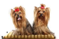 Two Yorkshire Terriers Stock Images