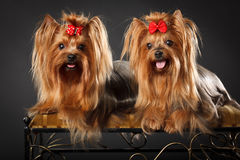 Two Yorkshire Terriers Stock Image