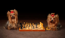 Two Yorkshire Terriers Royalty Free Stock Photo