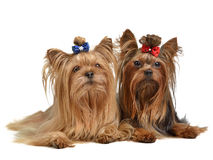 Two Yorkshire Terriers. Isolated on white background Stock Image