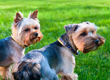 Two Yorkshire terriers. Two Yorkshire terriers on the green grass Royalty Free Stock Photography