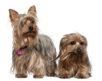 Two Yorkshire terriers, 3 and 6 years old. In front of white background Stock Image