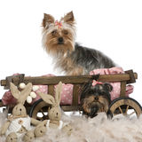 Two Yorkshire Terriers, 5 and 9 months old Royalty Free Stock Images