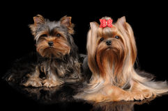 Two Yorkshire Terriers on black Royalty Free Stock Photos