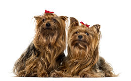 Two Yorkshire Terriers in front of a white background Royalty Free Stock Photo