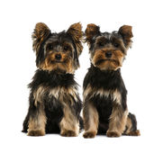 Two Yorkshire terriers Royalty Free Stock Images
