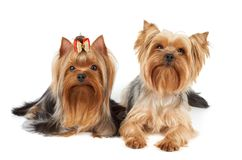Two Yorkshire Terriers Stock Photo