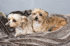 Two Yorkshire terriers laying down Stock Images