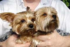 Two Yorkshire Terriers in a Mans Hands Stock Photo