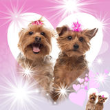 Two Yorkshire Terriers panting. On a fancy designed background Stock Photo