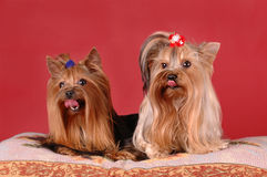 Two yorkshire terriers on red background Stock Image