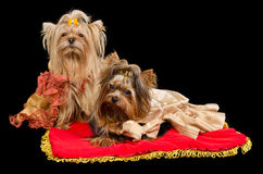 Two Yorkshire Terriers with royal dress Royalty Free Stock Image