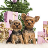 Two Yorkshire Terriers sitting. In front of Christmas decorations against white background Royalty Free Stock Photo