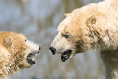 Polar bears heads. Two of Yorkshire Wildlife Parks polar bears. A close up of their heads stock images